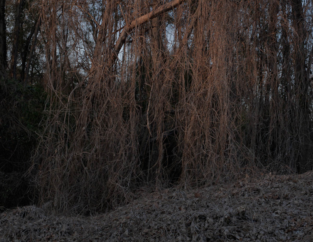 Winter Kudzu, Hattiesburg, MS