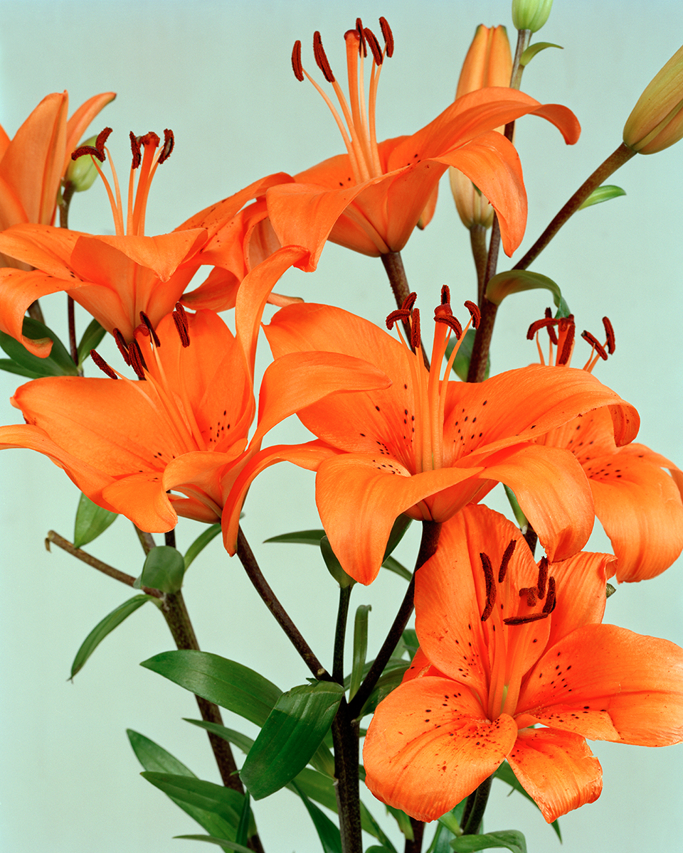 03-Ann-Woo_Orange-Lillies_2009