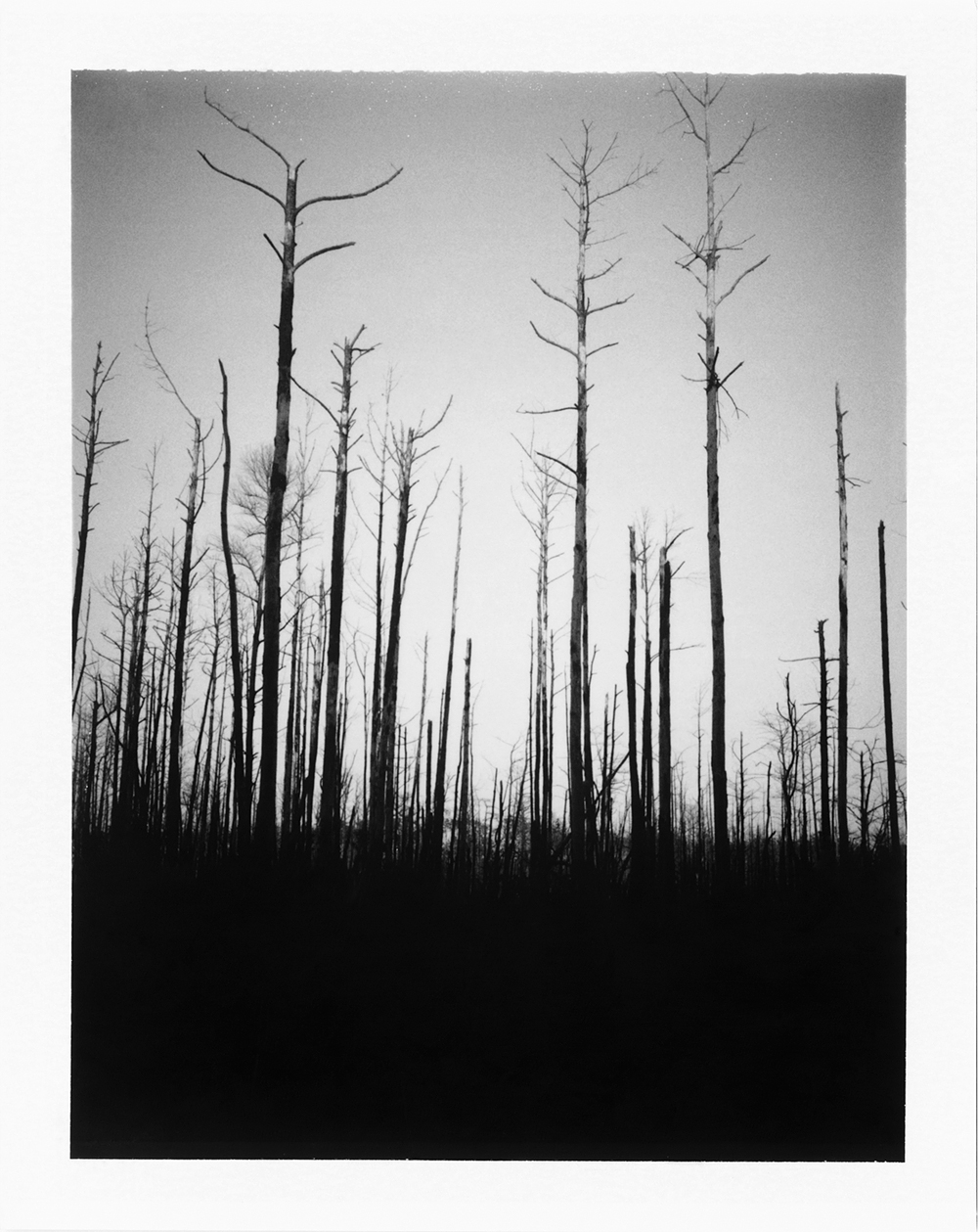 Surviving Trees After Prescribed Burn, Somewhere in the South