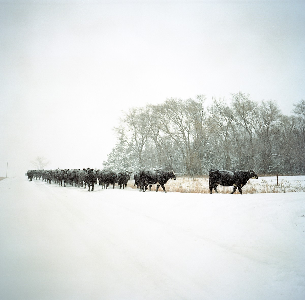 The Kilmurry family's cattle are moved from one field to another during a snowstorm, Atkinson, Nebraska. The Kilmurry's have rejected TransCanada's attempts to get them to sign an easement to let the Keystone XL pipeline cross their property.