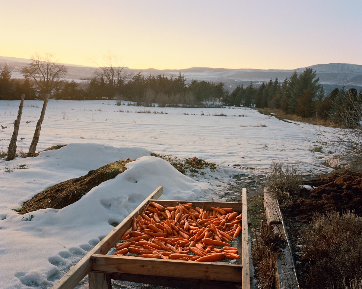 Carrots, Paonia, Colorado, 2015