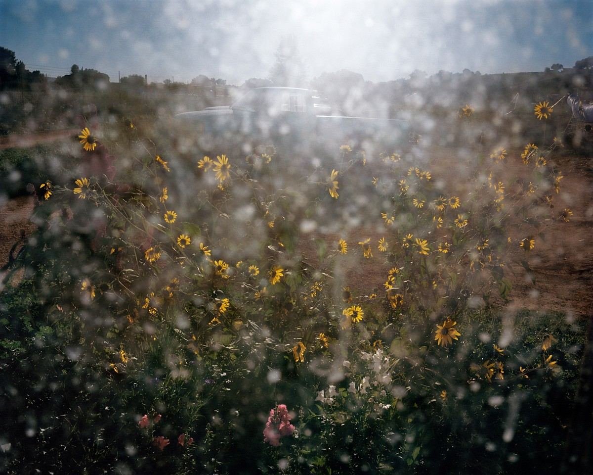 Sunflowers, Hotchkiss, Colorado, 2015